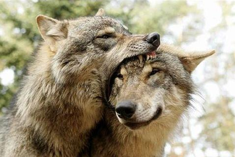 wolves-eating-head